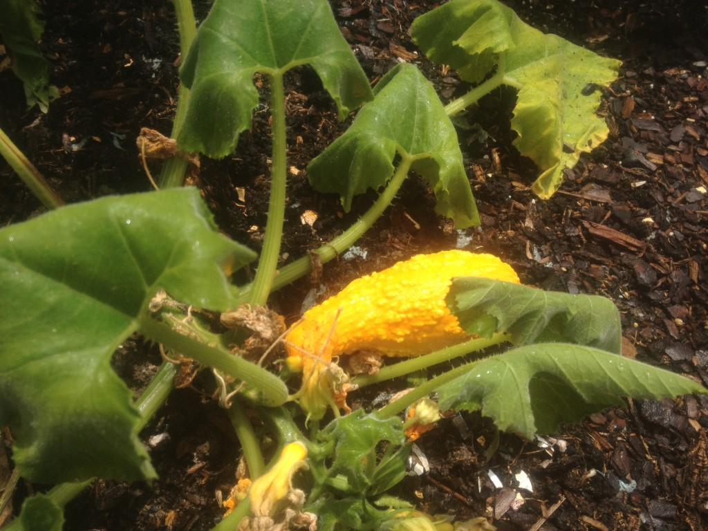 Crookneck squash. Timmy was very interested in how squash grew...too bad he doesn't like squash.