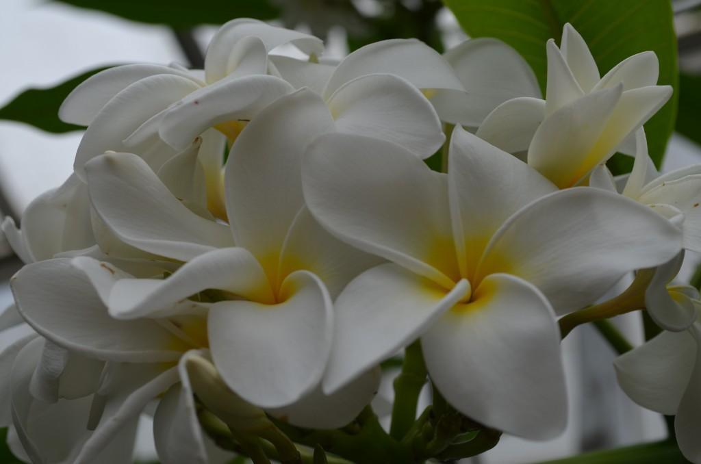 Plumeria! The scent of these flowers bring back so many memories of Hawaii!