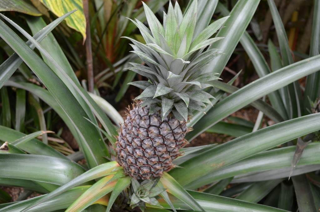 Alabama discoveries 6 bellingrath gardens for mother s for Pineapple in the ground