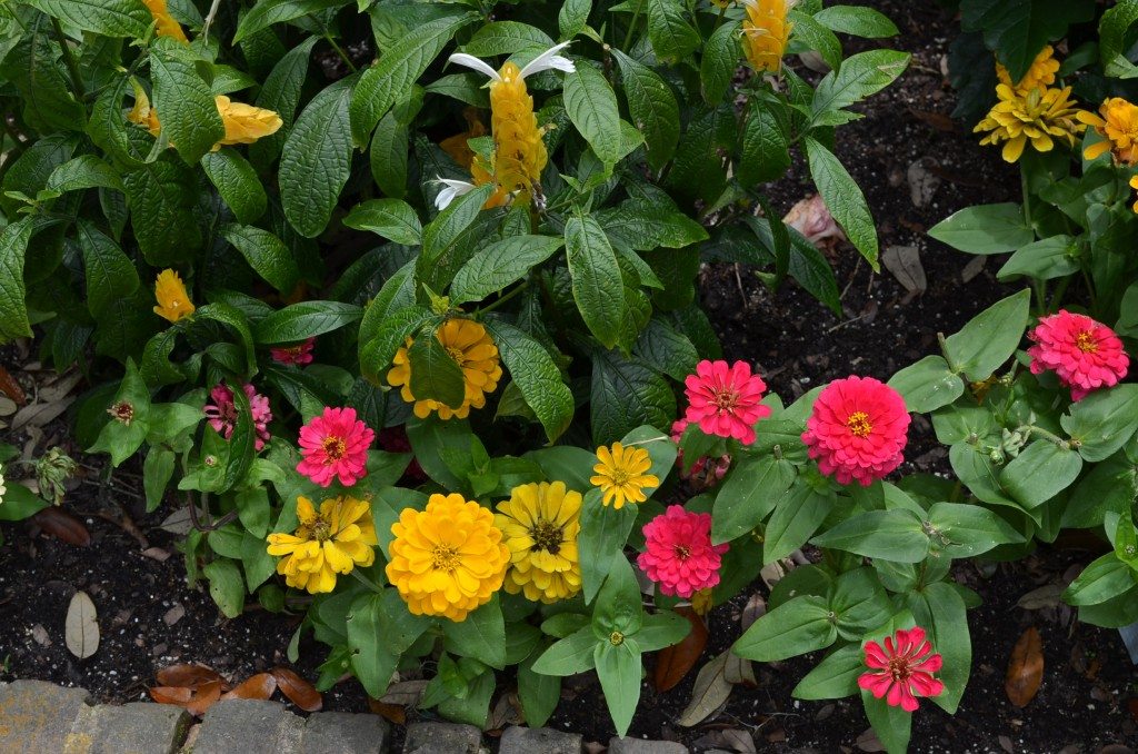 I had zinnias in my garden in Nebraska. I love how bright and cheerful they are.