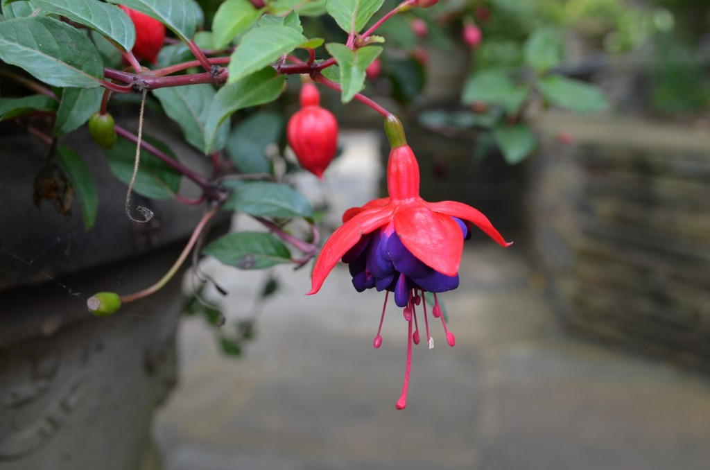 Fuchsias! I had one of these as a hanging basket in college. It was very big and somewhat overwhelming.