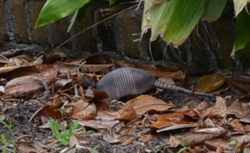 Look, it's a real live armadillo! I think Jacob was the one who saw it from a distance scavenging among the dead leaves.
