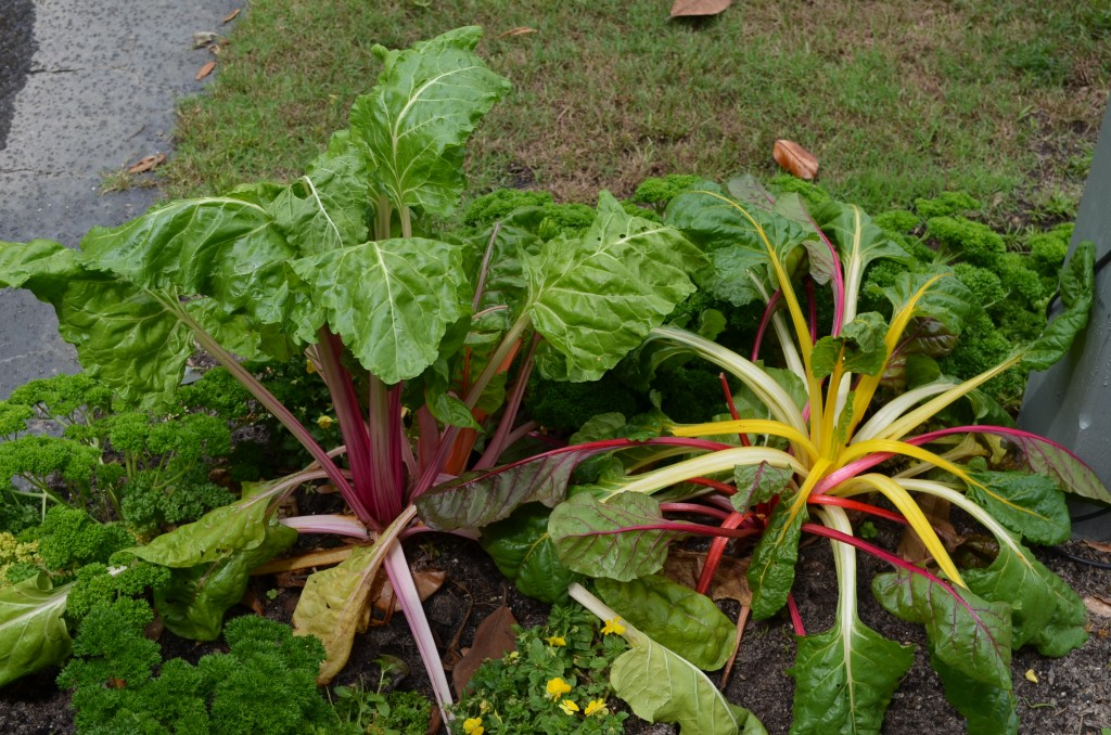 "There was an edible garden area. Swiss chard, parsley and pansies. I had that same Swiss chard among my zinnias in Nebraska. It's called ""City Lights"" if you want to find the seeds."