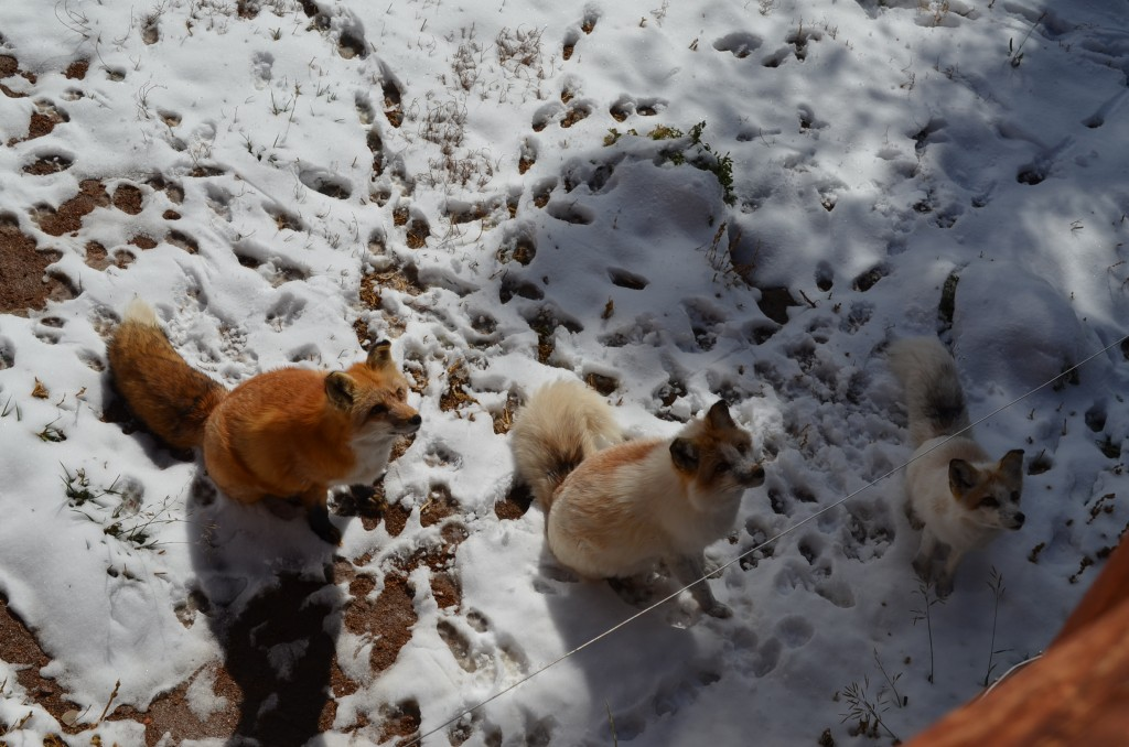 """Three red foxes (yes, those two white colored foxes are actually """"red"""" foxes) waiting for their treats from the tour guide."""