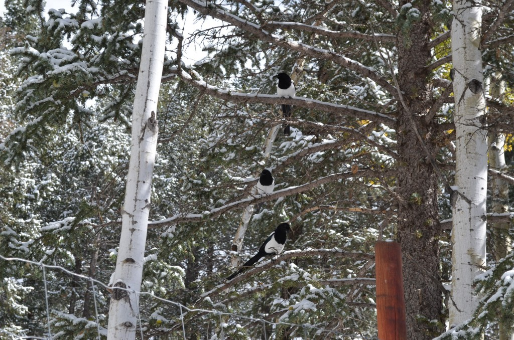 Can you see the three magpies in the tree? They're stacked vertically.