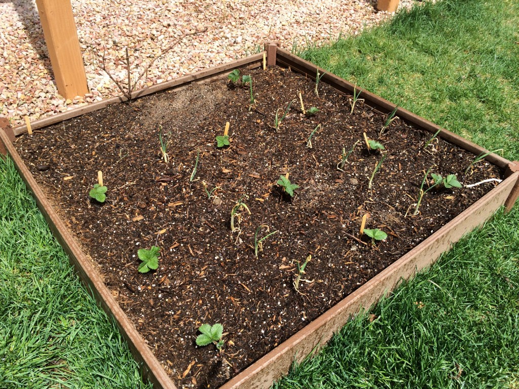 A close up of one of our new garden boxes with strawberries, onions, and a grape vine.