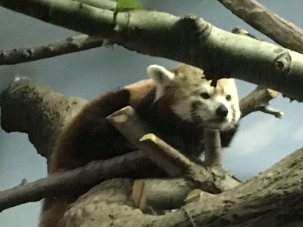 2016 05 07 Denver Zoo Red Panda - 44