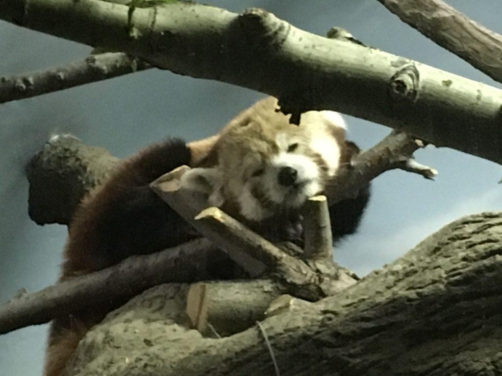 2016 05 07 Denver Zoo Red Panda - 52