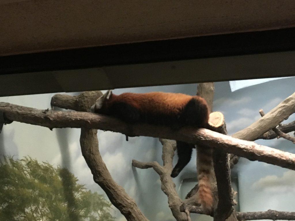 2016 05 07 Denver Zoo Red Panda - 55